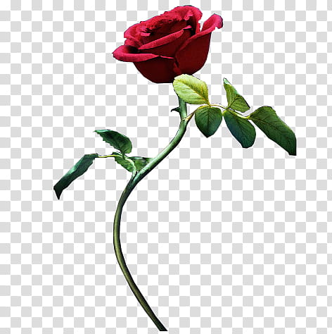 Beauty And The Beast Rose, red rose flower art transparent.