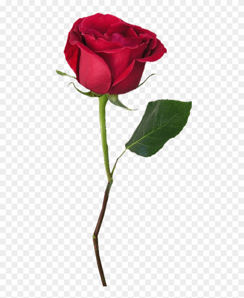 Free Png Download Rose With Stem Png Images Background.