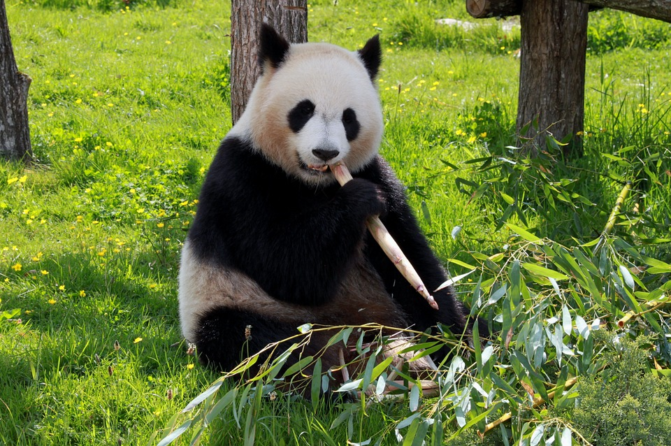 Free photo Fauna Animals Beauvalle Panda.