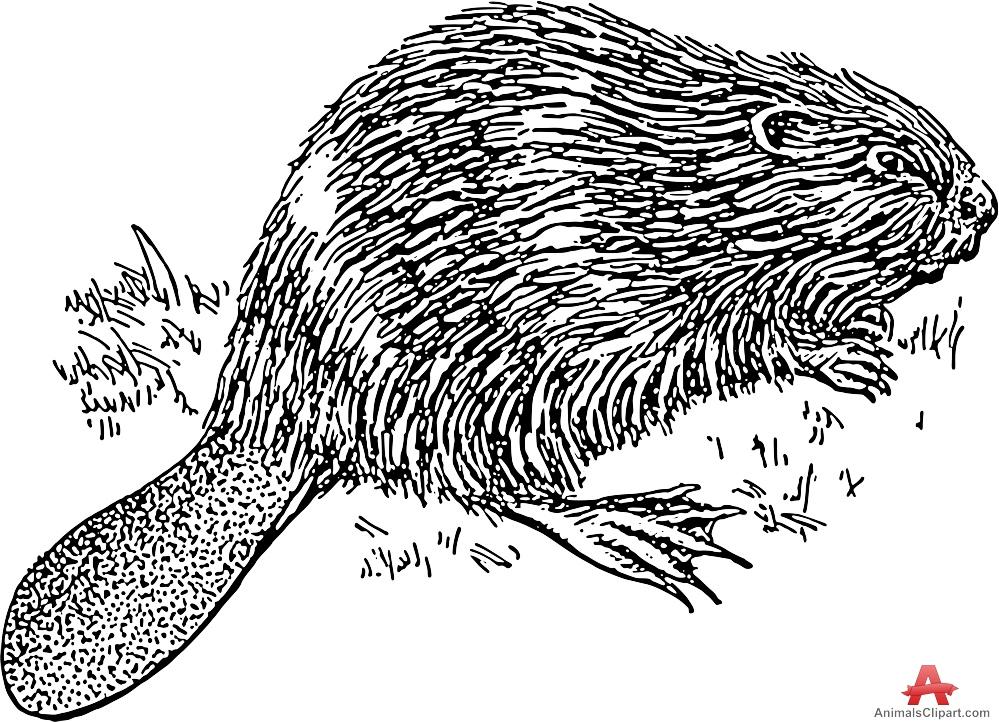 Animals Clipart of beaver.