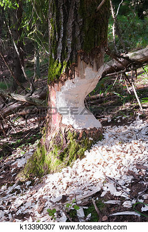Picture of beaver damage to spruce tree. Kaliningrad region.