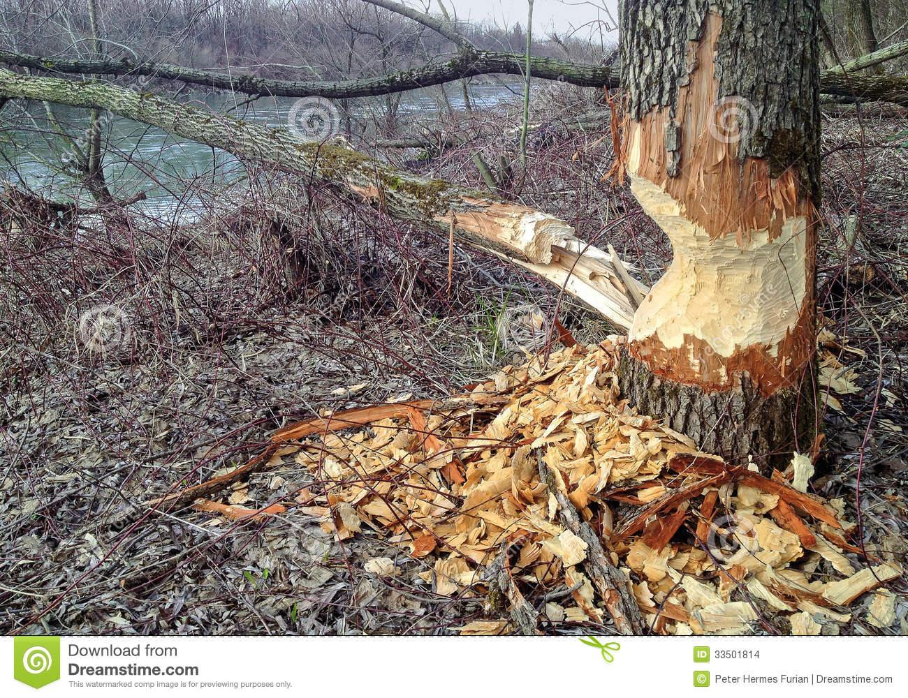 Beaver Tree Damage Stock Images.