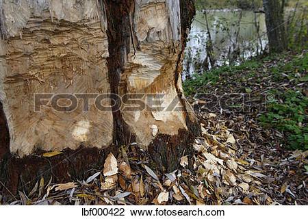 Stock Photo of Germany, Bavaria, Beaver damage at willow tree near.