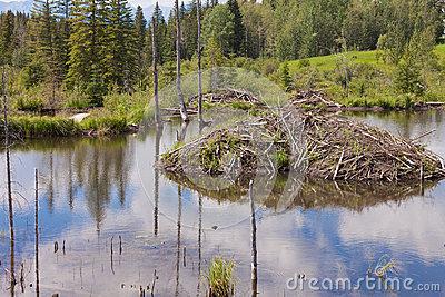 Taiga Wetlands Beaver Lodge Castor Canadensis Royalty Free Stock.