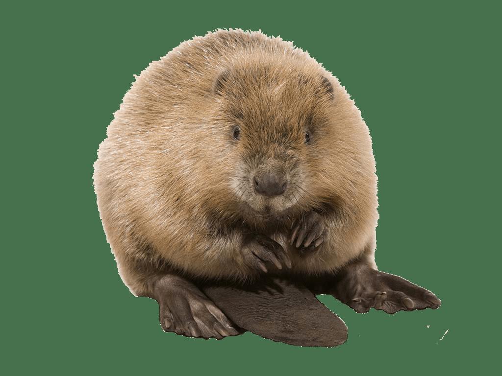 Cute Beaver transparent PNG.