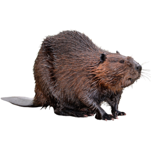 Beavers #30981.