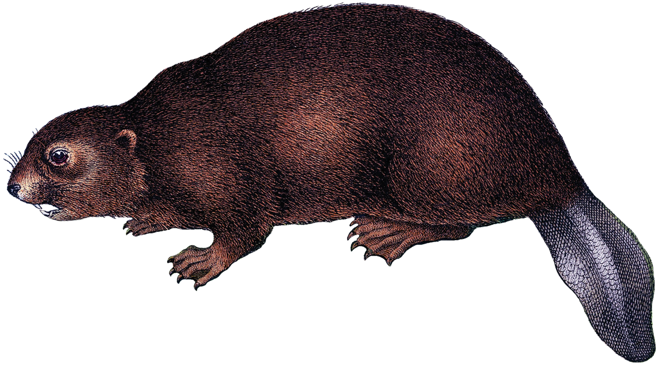 Beaver PNG Background Image.