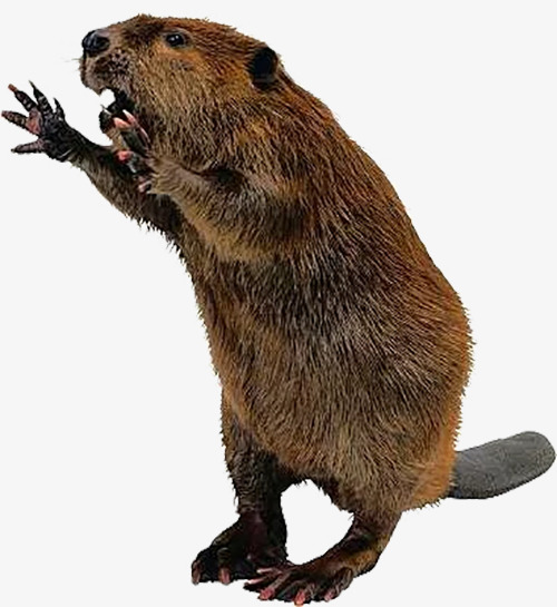 Beaver Png & Free Beaver.png Transparent Images #1747.