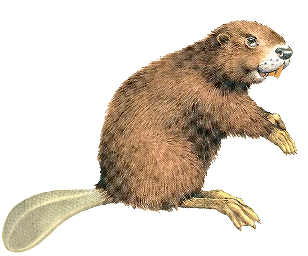 Beaver PNG images free download.