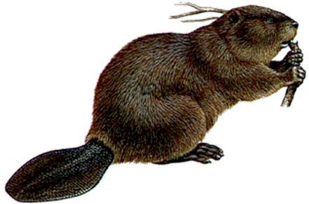 Beaver PNG Picture Vector, Clipart, PSD.