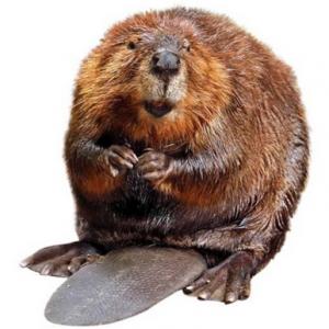 Beaver PNG Transparent Beaver.PNG Images..