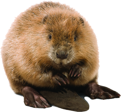 Download Free png Beaver PNG, Download PNG image with transparent.