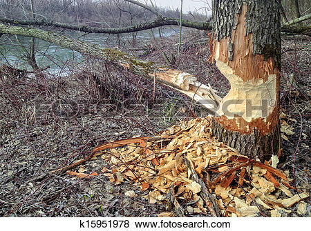 Pictures of Beaver Tree Damage k15951978.