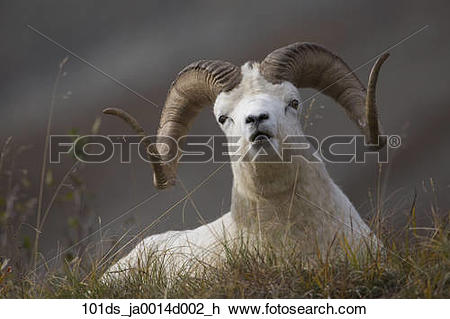 Stock Photo of Dall Sheep ram bedded down and chewing on grass on.