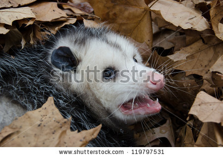 Large Virginia Opossum Bedded Down Leaves Stock Photo 119797543.