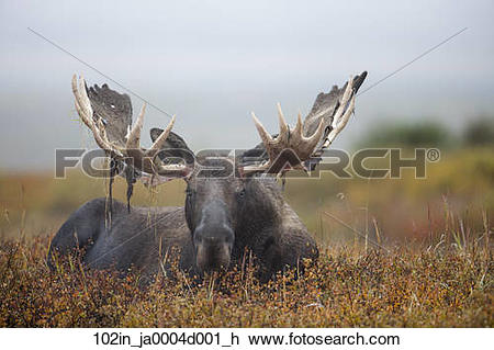 Stock Photo of Large bull moose bedded down on colorful tundra.