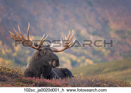 Stock Photo of Bull moose bedded down during Autumn, Powerline.