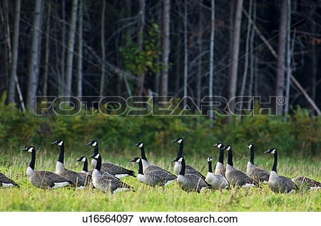 Picture of Canada geese (Branta canadensis) Migratory flock bedded.