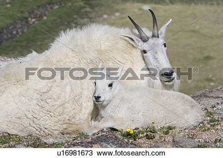 Stock Photo of Mountain goat (Oreamnos americanus), kid bedded.
