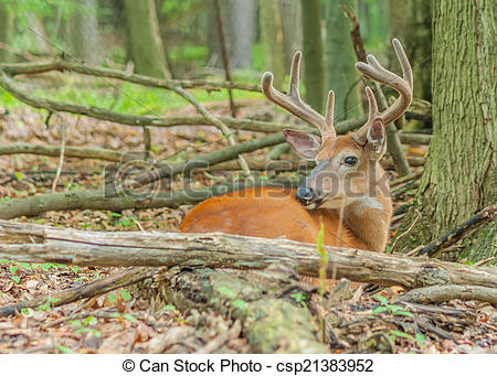 Stock Images of Whitetail Deer Buck In Velvet bedded down in the.