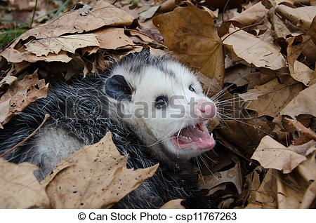 Stock Image of Opossum in leaves.