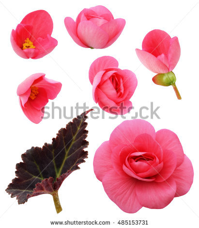Begonias Stock Photos, Royalty.
