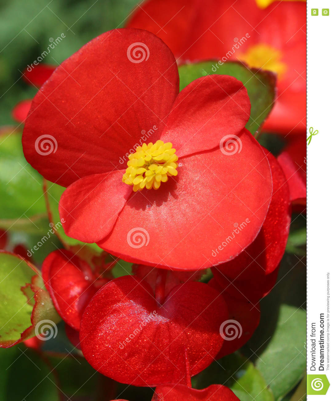 Red Begonia Semperflorens Stock Photo.