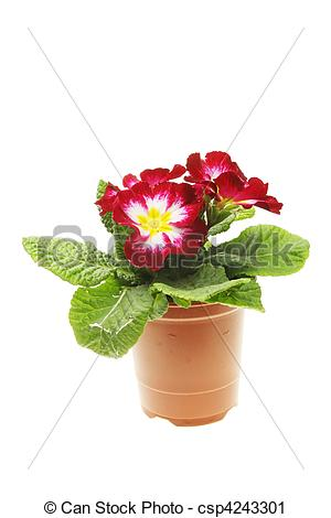 Stock Photography of Primula bedding plant.