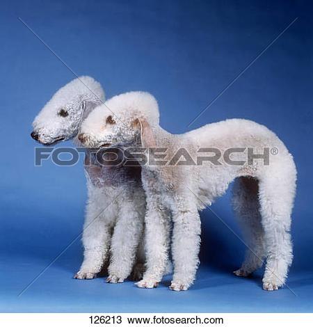 Stock Photo of 2 Bedlington Terrier.