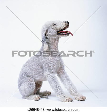 Pictures of A cute Bedlington terrier sitting u25648418.