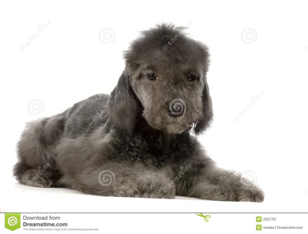 Bedlington Terrier In Watercolor Stock Illustration.