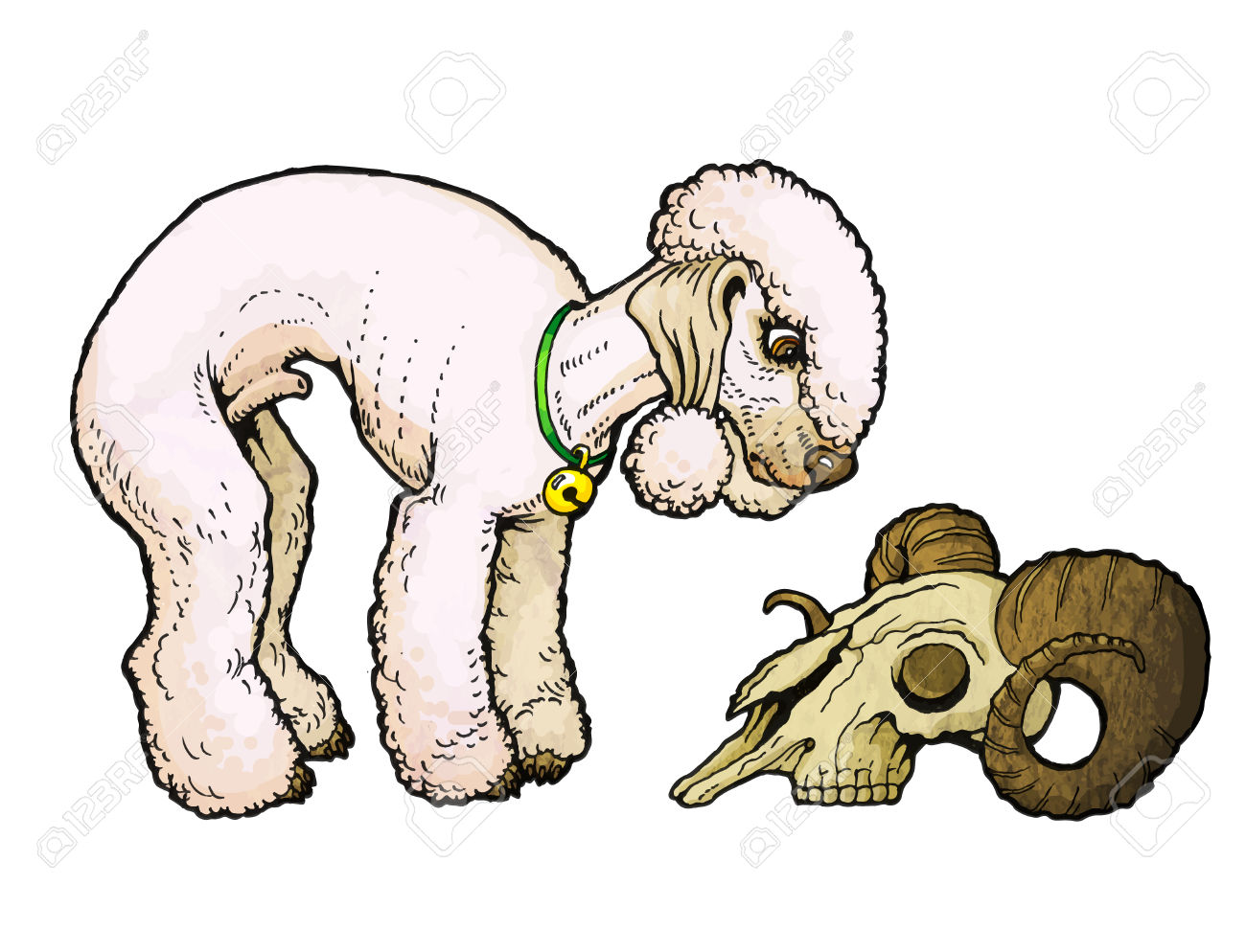 Bedlington Terrier Looks At A Sheep Skull. From A Series Of Images.