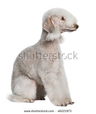 Bedlington Terrier Stock Photos, Royalty.