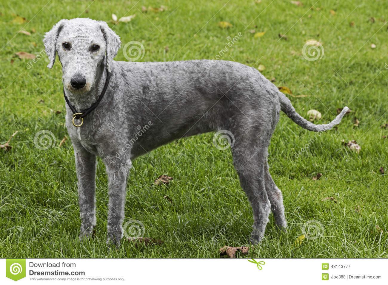 Bedlington Terrier Stock Photos, Images, & Pictures.