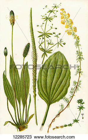Stock Photo of Wildflowers. 1. Ribwort 2. Broadleaved Plantain or.