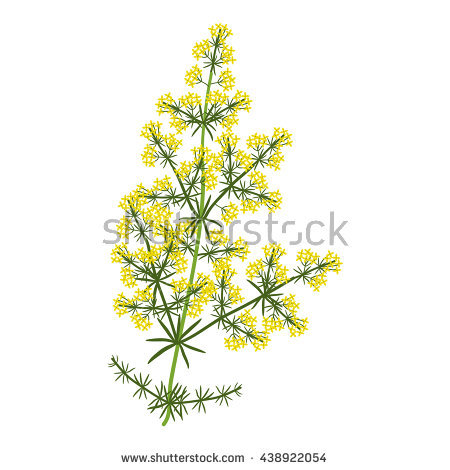 Bedstraw clipart #12