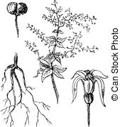 Bedstraw Illustrations and Clip Art. 10 Bedstraw royalty free.