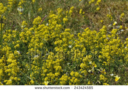 Lady Bedstraw Stock Photos, Royalty.