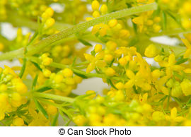 Stock Photo of Bedstraw Galium verum.