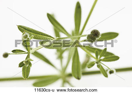 Stock Images of Catchweed Bedstraw (Galium aparine), close.