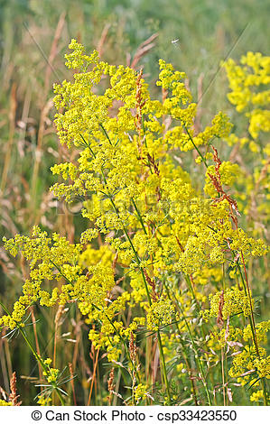 Stock Images of Galium verum or yellow bedstraw (Latin Galium.