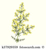 Bedstraw Clip Art Illustrations. 9 bedstraw clipart EPS vector.
