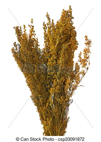 Picture of Lady's bedstraw.