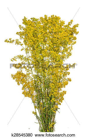 Stock Photography of Yellow Bedstraw k28545380.