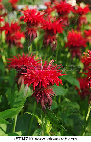 Stock Photography of Flowering bee balm plants k8794710.