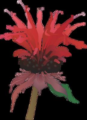 Monarda spp. (Bee Balm) flowers.