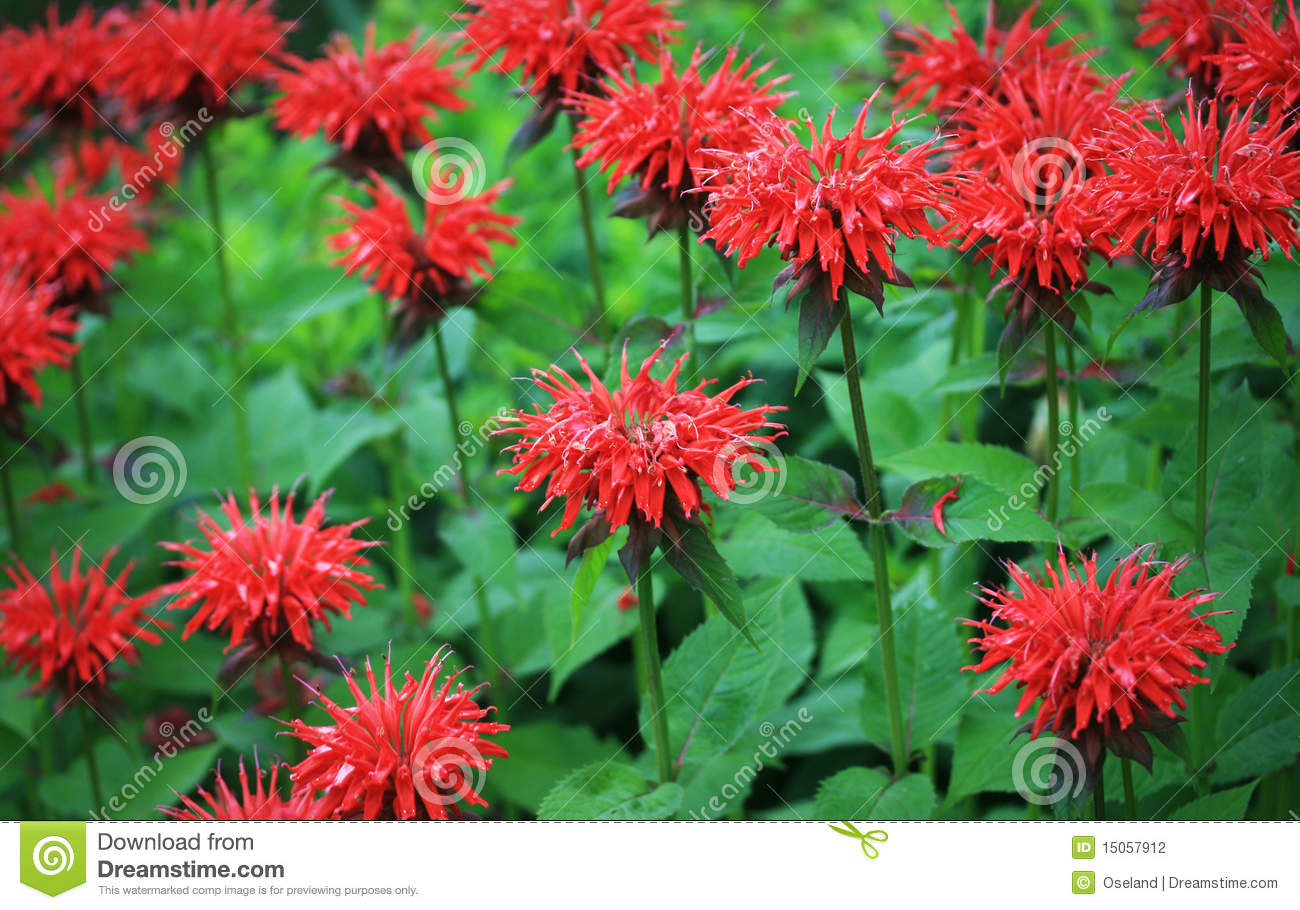 Red Bee Balm Stock Photography.