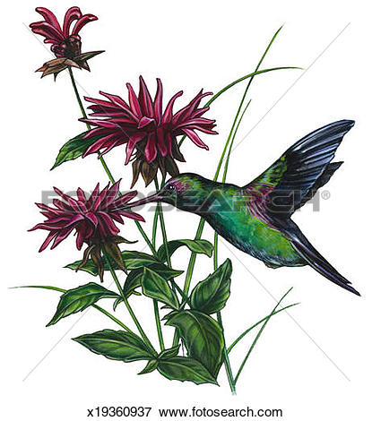 Stock Illustration of Hummingbird & Bee Balm x19360937.