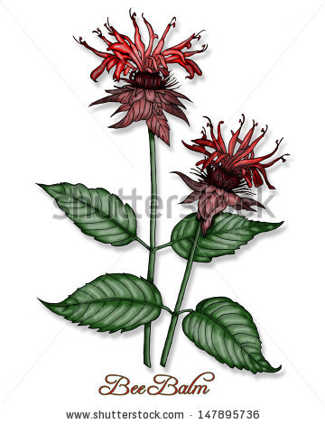 Bee Balm Stock Images, Royalty.