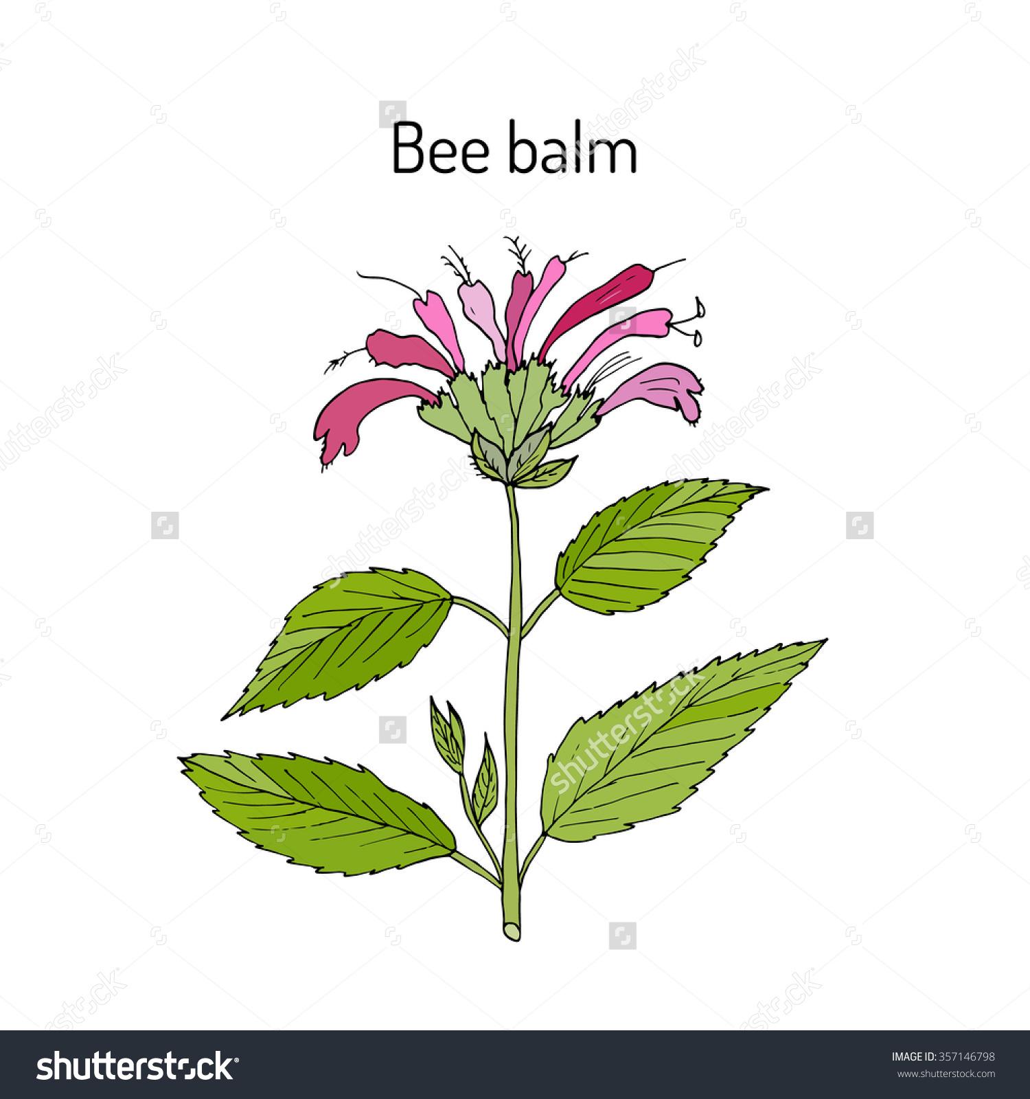 Wild Bergamot Bee Balm Aromatic Medicinal Stock Vector 357146798.